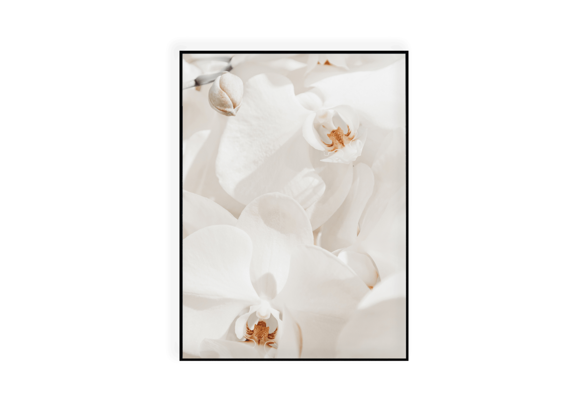 Photographie en gros plan d'orchidées blanches au cœur ocre.